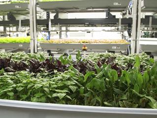 Supermercados reduzem milhas de produção com agricultura vertical e abastecimento local
