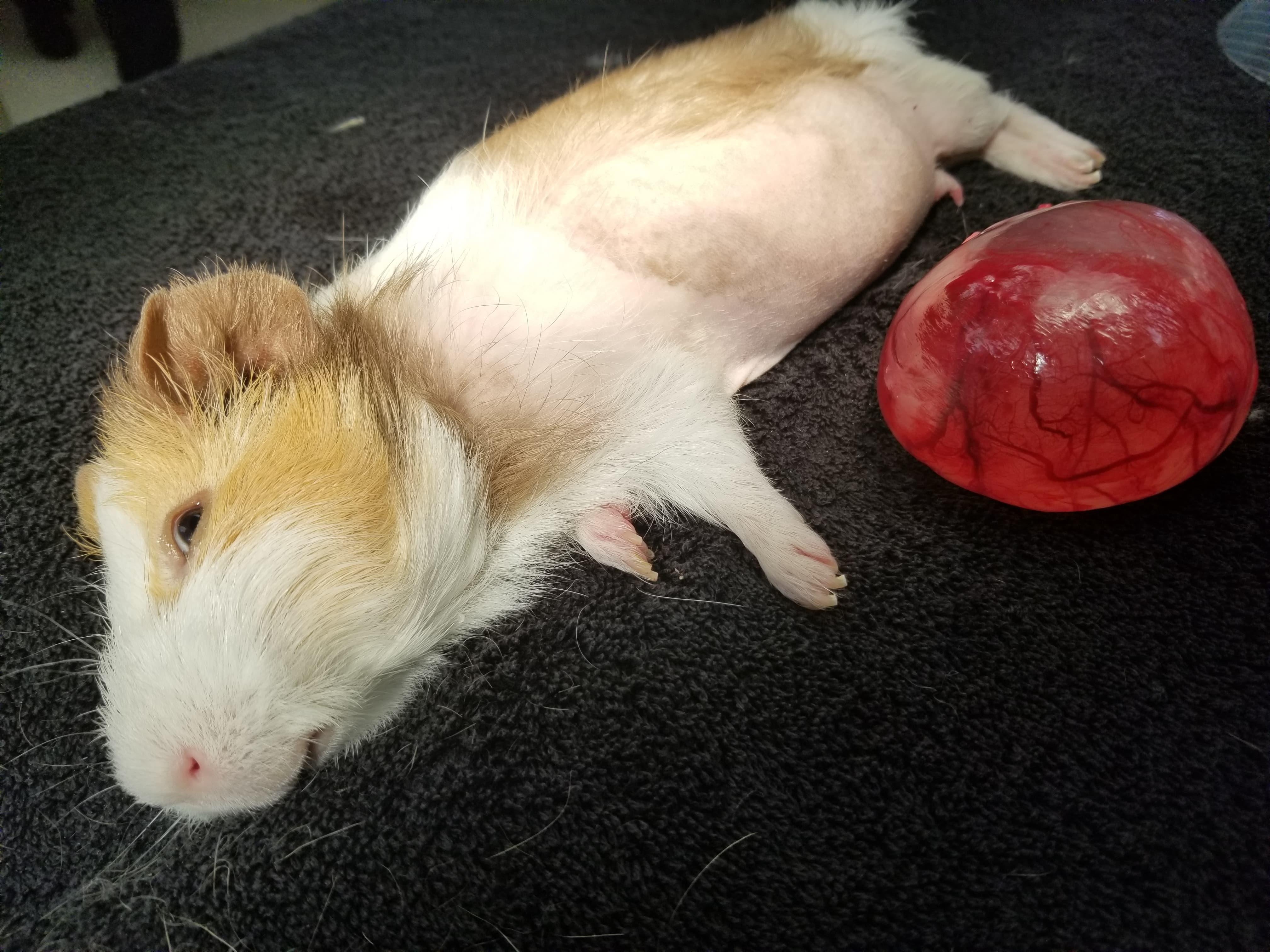 Guinea Pig w/ ovarian tumor