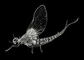 Mayfly flyfishing New Hampshire