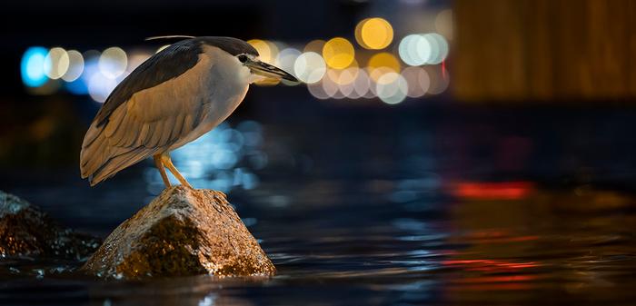 060 - 3 - Black-crowned Night Heron ©Dap