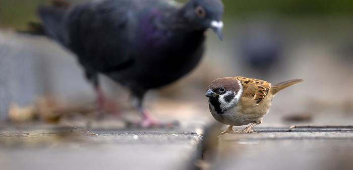 060 - 4 - Eurasian Tree Sparrow ©Daphne