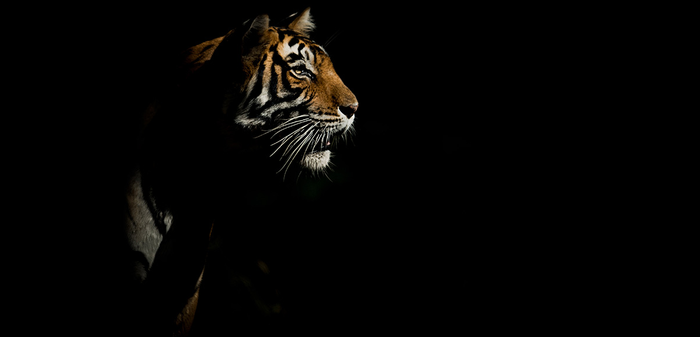 068 - Tiger Black BG By Jayanth Sharma.png
