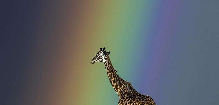 068 - Giraffe By Jayanth Sharma.png