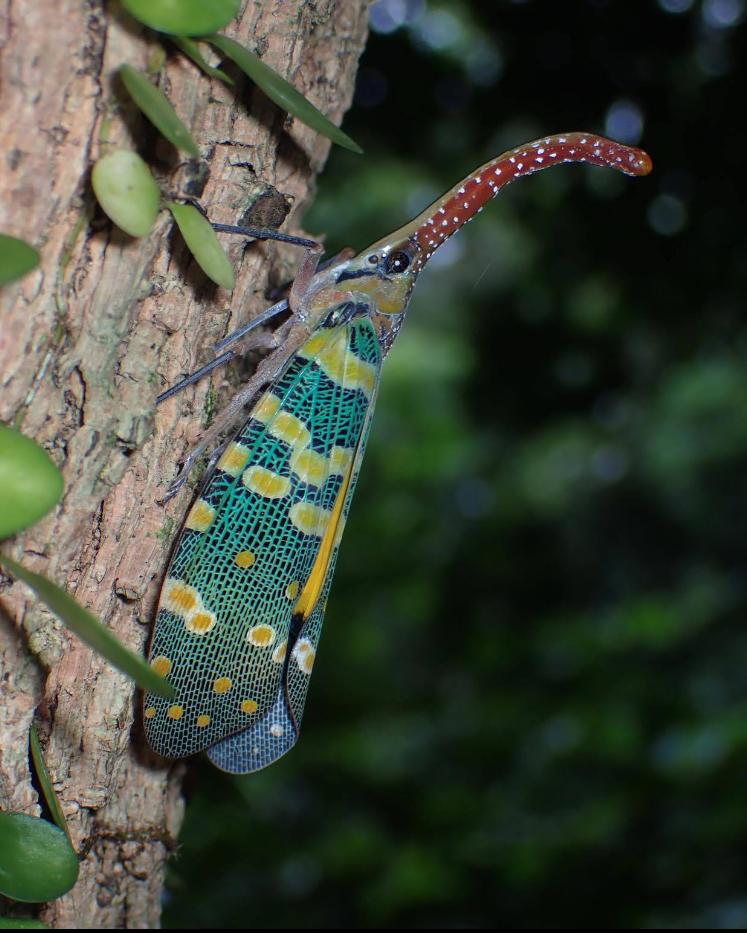 Ep 038 - Lantern Beetle - by Sasha Halda