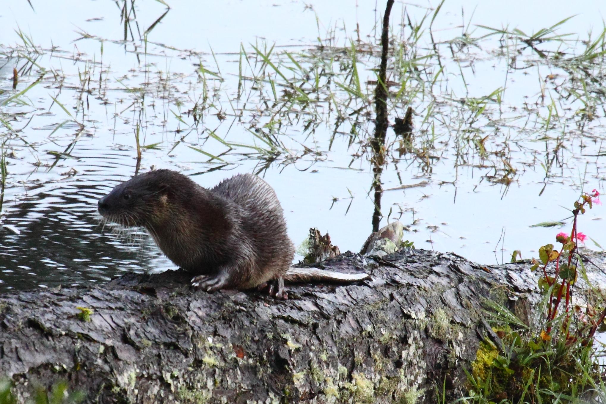 Lontra do Lago