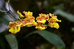 Orquídea local