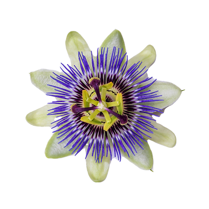 Passiflora%2520(passionflower)%2520isola