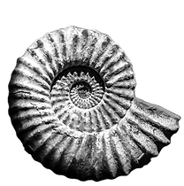 grey%20shell%20fossil_edited.png
