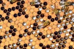 abeilles 4 vauvarin