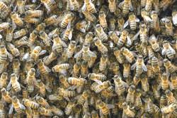 abeilles 33 vauvarin