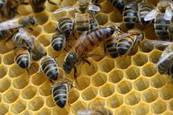 abeilles 28 vauvarin