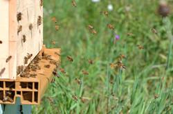 abeilles 42 vauvarin