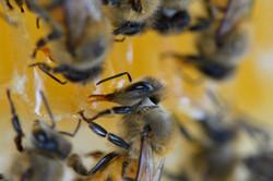 abeilles 18 vauvarin