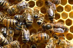 abeilles 8 vauvarin