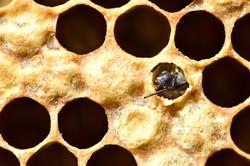 abeilles 3 vauvarin