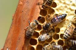 abeilles 6 vauvarin