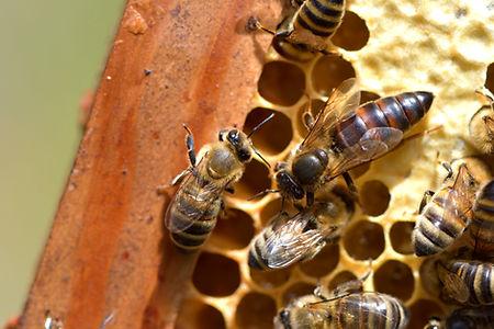 abeilles 6 vauvarin.jpg