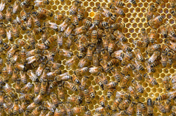 abeilles 37 vauvarin