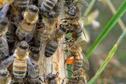 abeilles 32 vauvarin