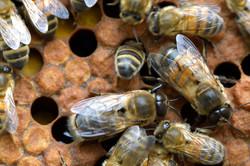abeilles 31 vauvarin