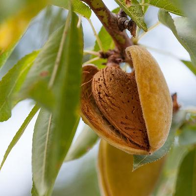 Ripe almonds on the tree branch.jpg