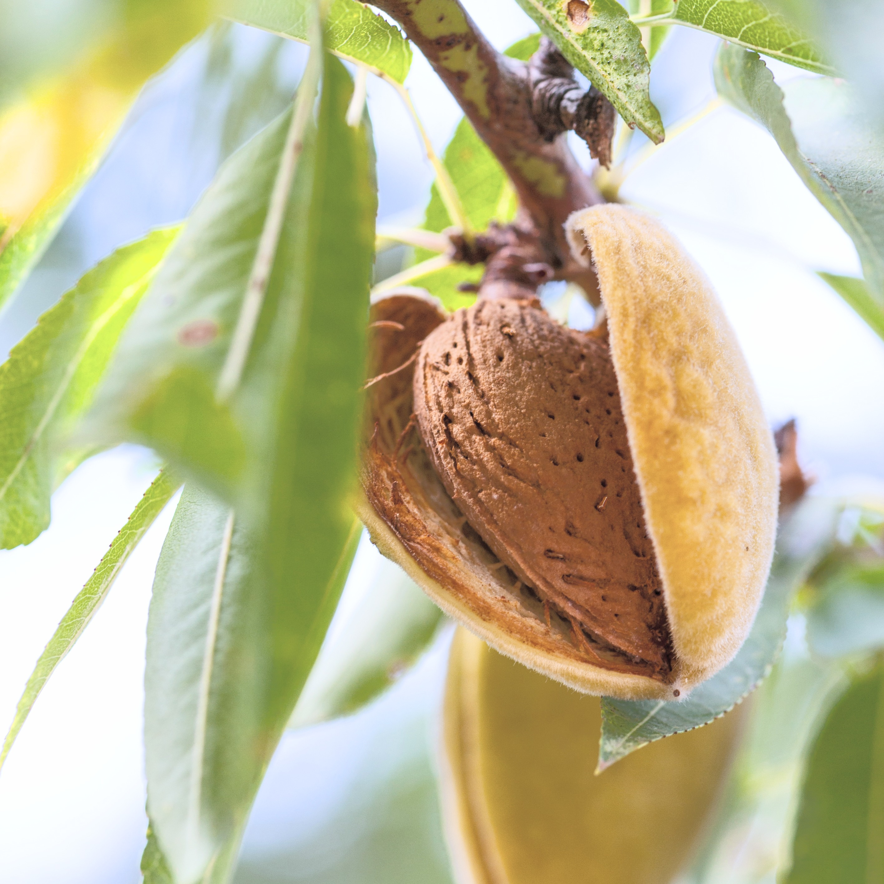 Ripe almonds on the tree branch_edited.j