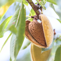 Ripe almonds on the tree branch_edited.j