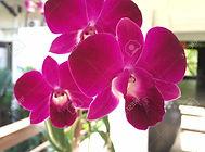 52656609-flores-de-orquídeas-rojas.jpg