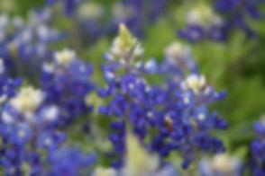 bluebonnets-2433508_960_720.jpg