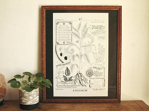 Planche Botanique Consoude par Eufricinia