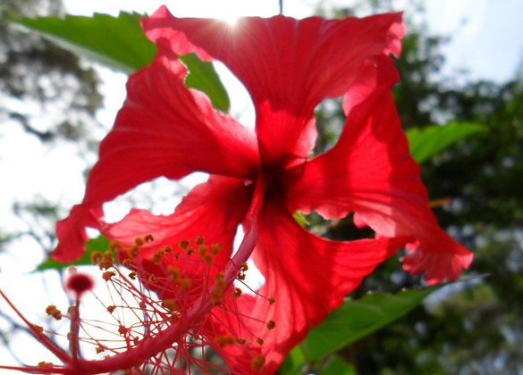 Red Hibiscus Wooden Wall Art Panel
