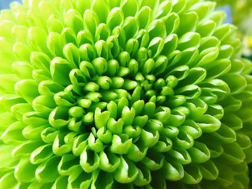 9月9日は、菊の節句です。