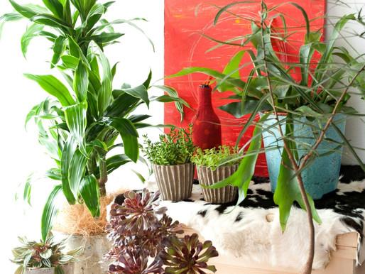 初夏は観葉植物の季節!ギンコは一本づつ選んでお店にスカウトしてます!