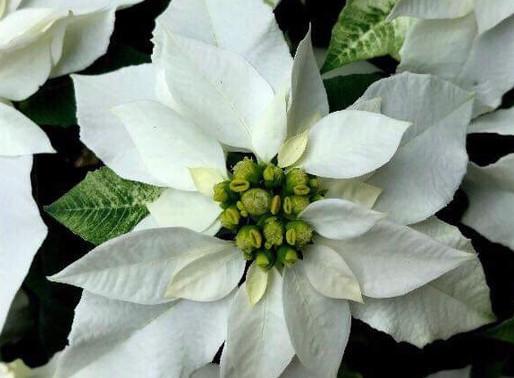 真っ白なプリンセチアでホワイトクリスマス!