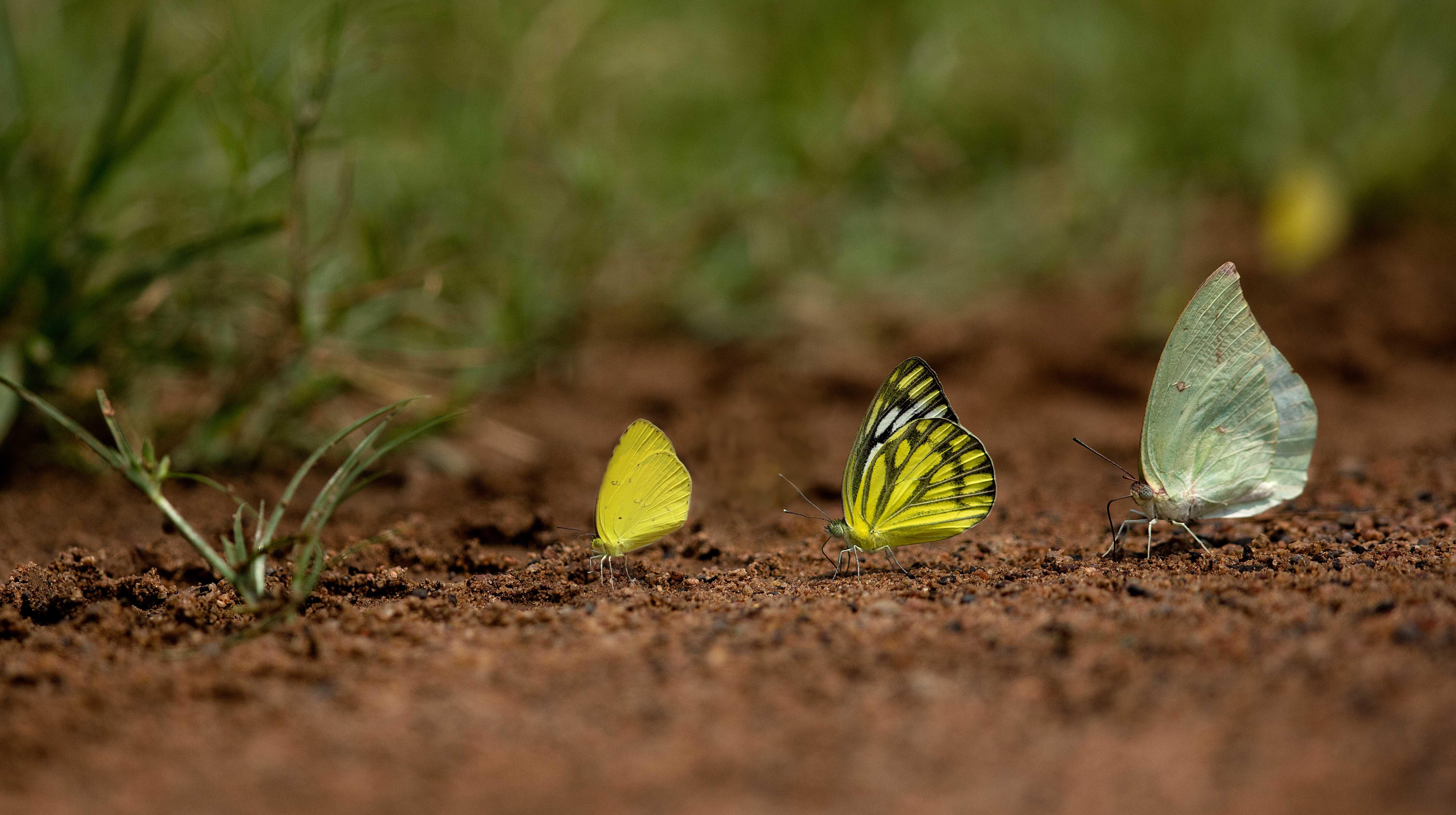 3 butterflies copy