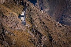 Peru Andean Condor 3