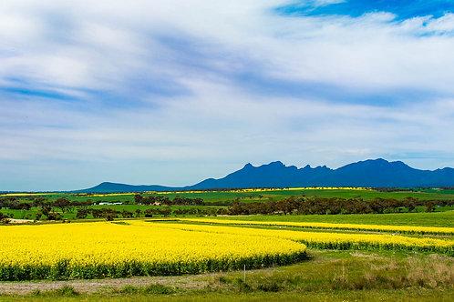 Sterling Ranges Canola Fields - Panorama - WA