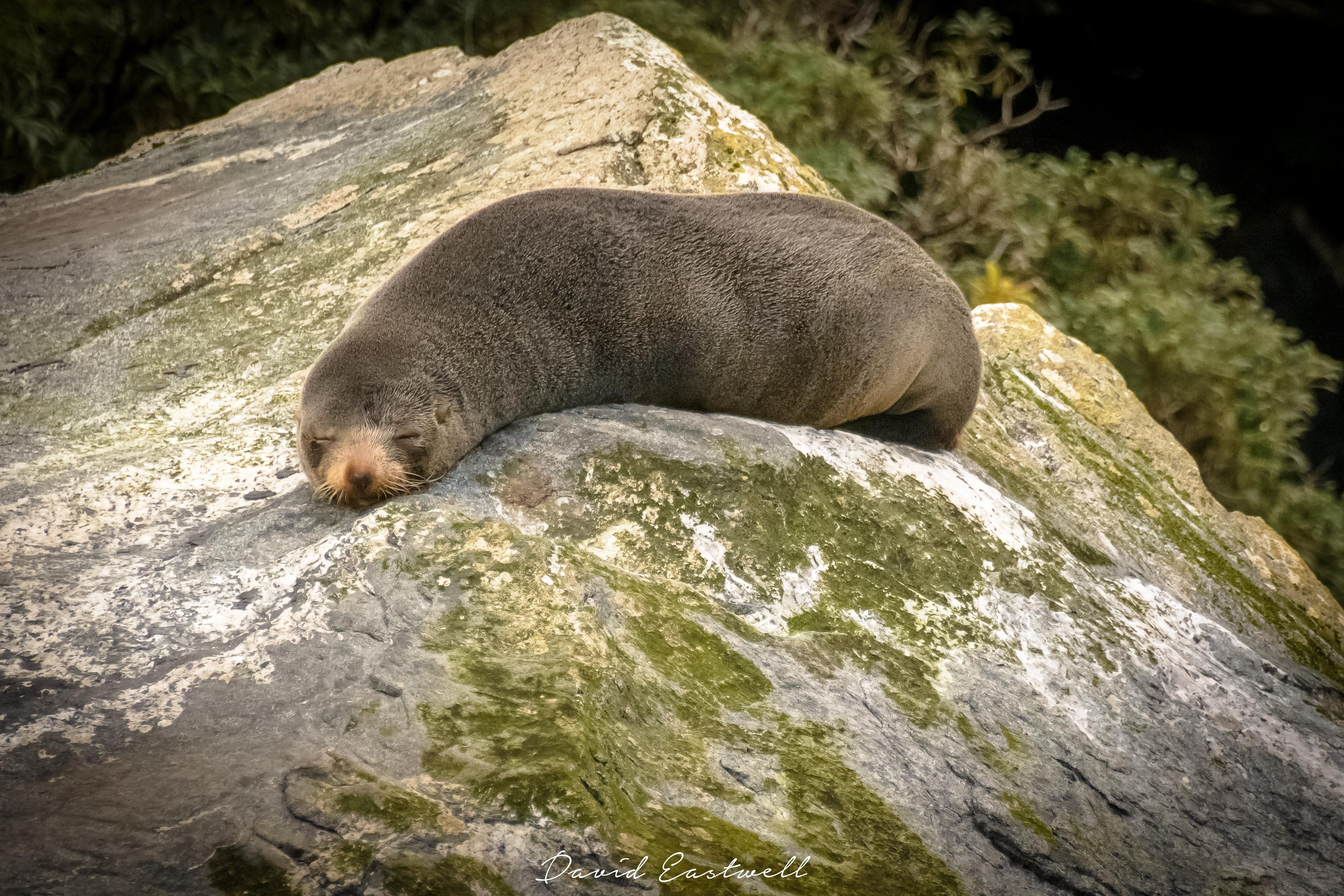 New Zealand Sleeping Seal