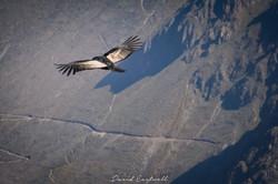 Peru Andean Condor 2