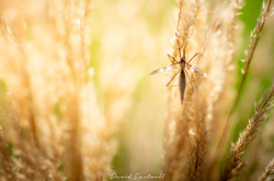 Mayfly in the Grass