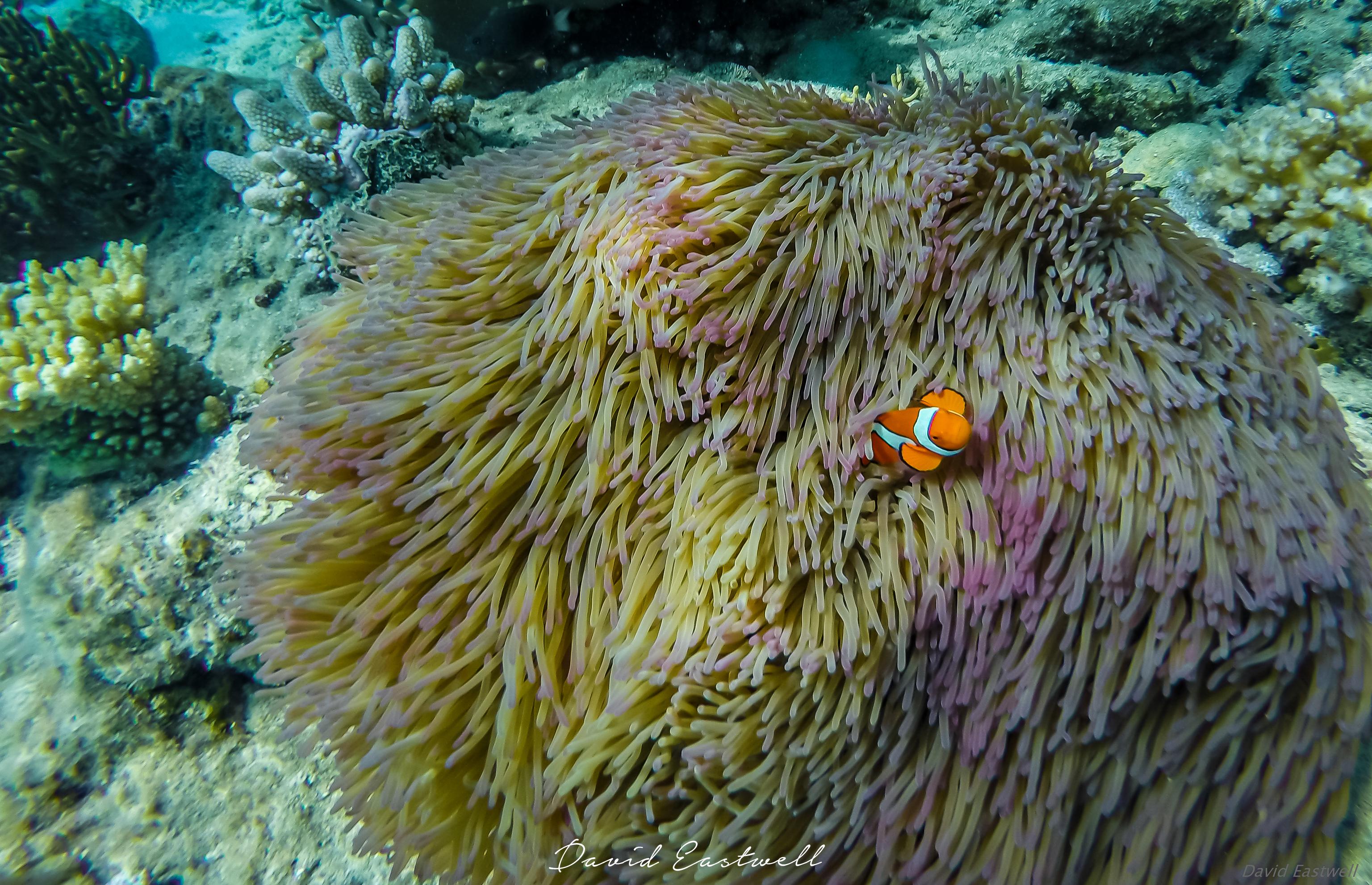 Coral Clownfish