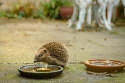 Springtime Hedgehog