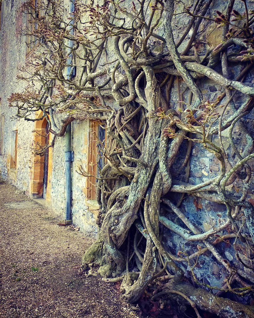 The ancient wisteria at Forde Abbey