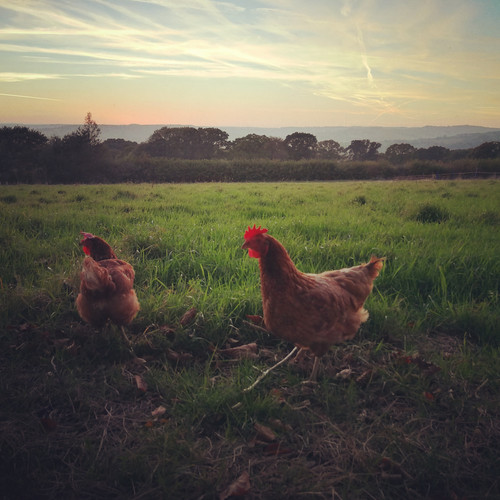 Two of our rescue hens