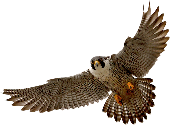 falcon_PNG16.png