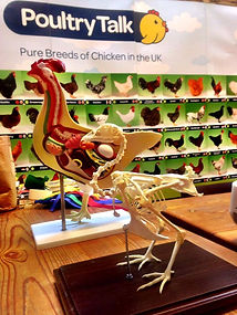 Chicken anatomical model and skeleton