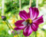 cosmos and bee small.jpg