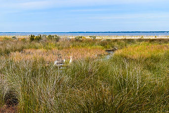 marchview elopement sc egrets in the marsh at Fish Haul Beach HIlton Head SC