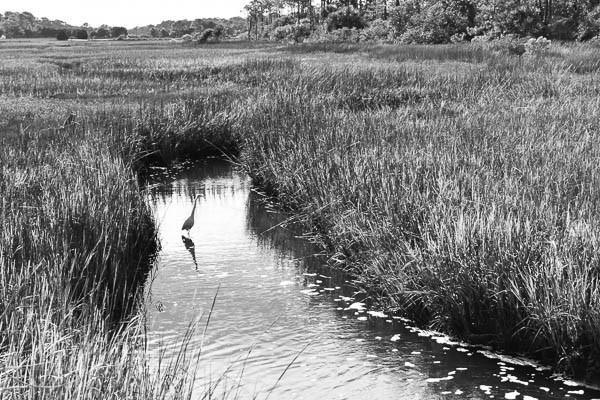 Egret in the marsh at Burkes Beach SC