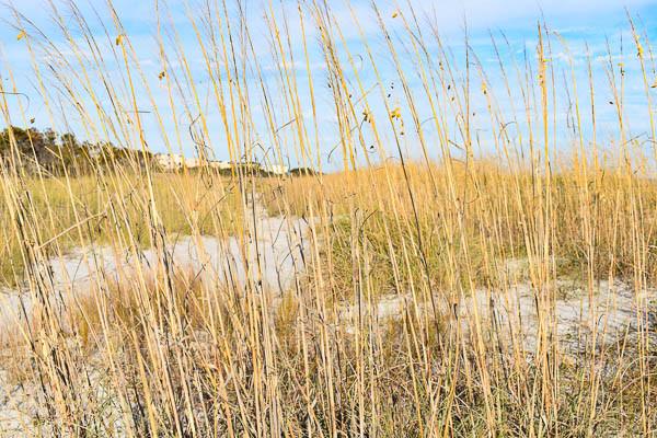 sand dune grass for photos and beach  weddings